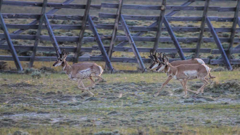 Pronghorn, Speed, Big Game,