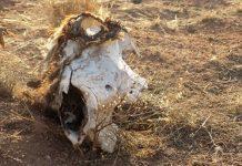 Cattle, Predators, Coyote