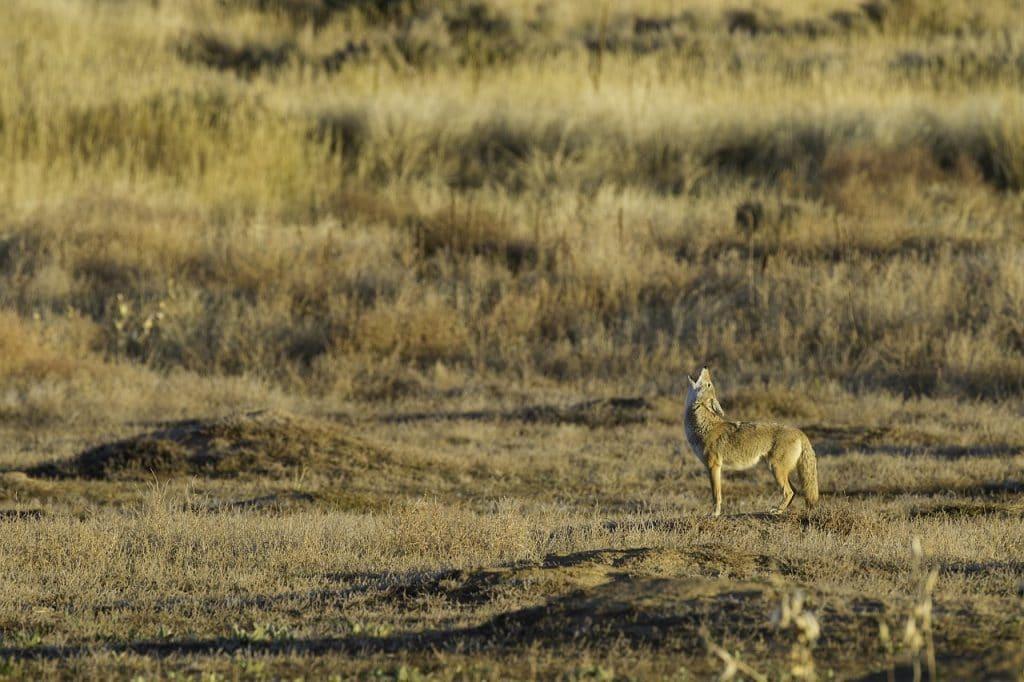 coyote, predators