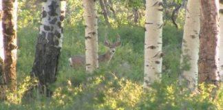 Mule deer in the aspens