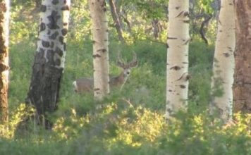 Mule deer in the aspens