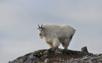 Mountain Goat Billy