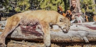 lion hounds hunter