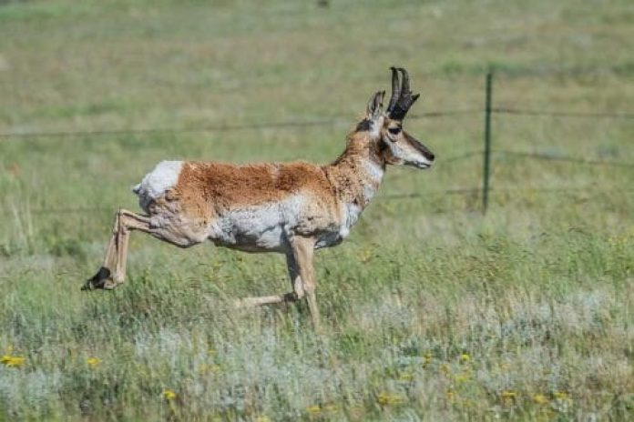 Antelope, speed, plains, fast