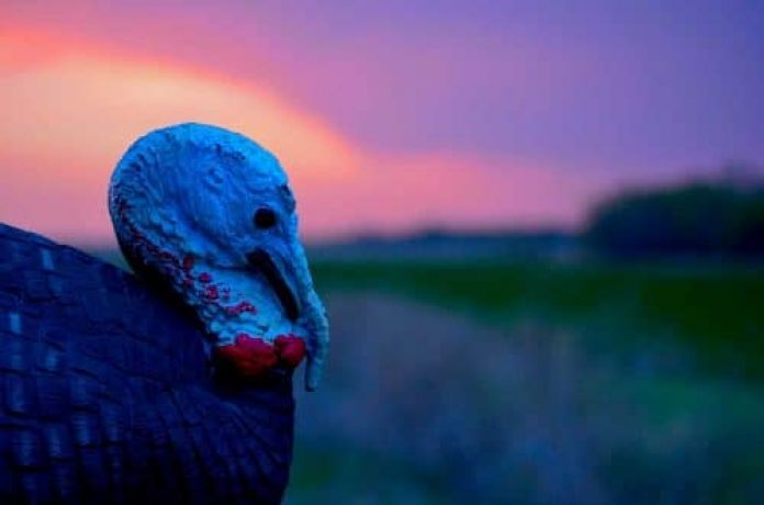 turkey hunting over a decoy