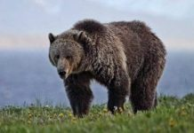 grizzly bear wanders in search of food
