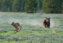 A 20-year old female grizzly, known as Grizzly 399, makes headlines once again. She makes her territory in Grand Teton National Par