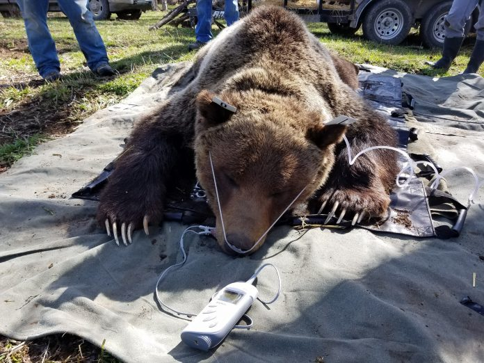 GRIZZLY WREAK HAVOC MONTANA CATTLE RANCHES