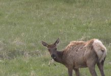 ELK KILLS EATS GOSLING