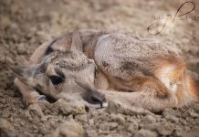 EMERGENCY CESAREAN SAVES PRONGHORN FAWN