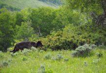 COLORADO WOLF SIGHTING