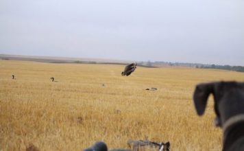 FINDING THE X:DECOYING STRATEGIES FOR CANADA GEESE