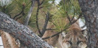 MOUNTAIN LIONS HUNTING DEATH THREATS