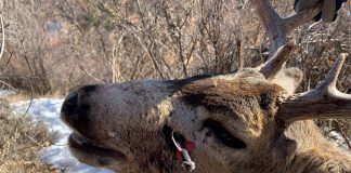 OFFICIALS SEEK PERSON WHO SHOT DEER ILLEGALLY