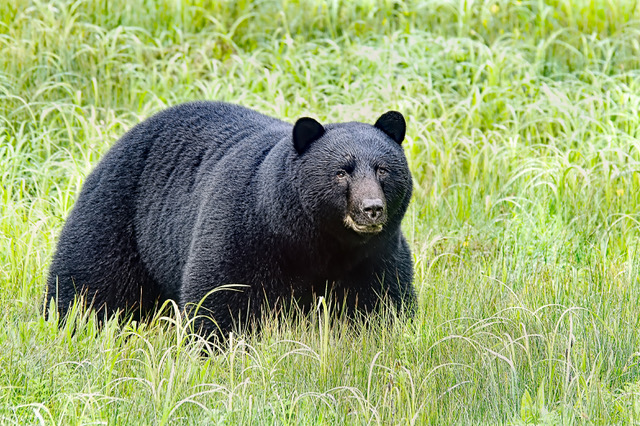 NEW BILL PROPOSES BLACK BEAR HUNTING WITH HOUNDS