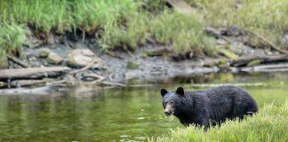 INCREASED BEAR ACTIVITY IN COLORADO