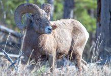 SOUTH DAKOTA BIGHORN SHEEP CONSERVATION