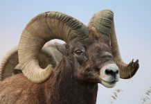 MONTANA BIGHORN MANAGEMENT PUBLIC COMMENT PERIOD