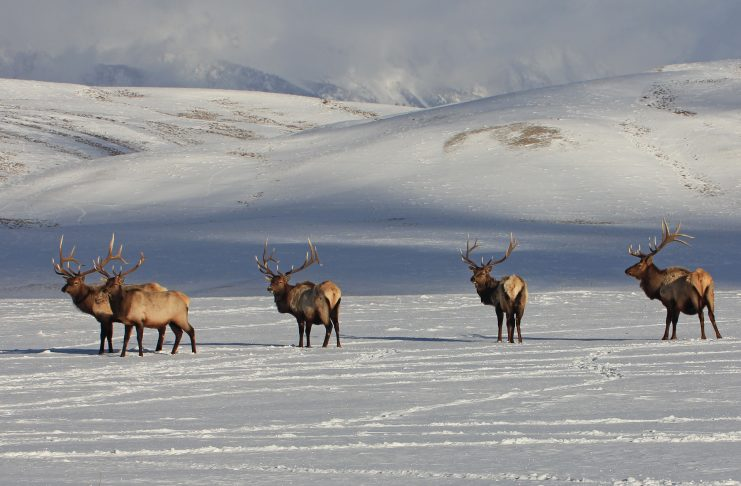 WYOMING ELK TESTS POSITIVE FOR CWD