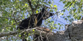 BEAR KILLED BREAKING INTO HOME