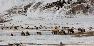 ELK TEST POSITIVE FOR CWD NEAR FEED GROUNDS
