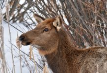 FISH & GAME SEEKING FEEDBACK ON PROPOSED ELK HUNT