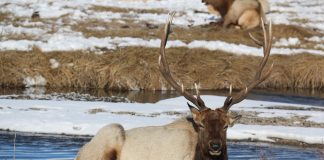 UTAH DWR SUGGESTS UNLIMITED ANY-BULL ELK PERMITS