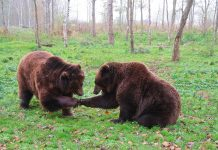 REDUCING CONFLICTS BETWEEN GRIZZLIES, HUMANS, AND LIVESTOCK