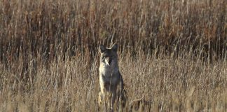 SOUTH CAROLINA COYOTE HARVEST INCENTIVE PROGRAM