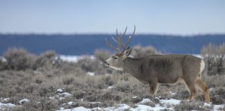 113 DEER POACHED IN WYOMING