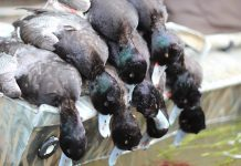 DECOY SPREAD BLUEBILLS
