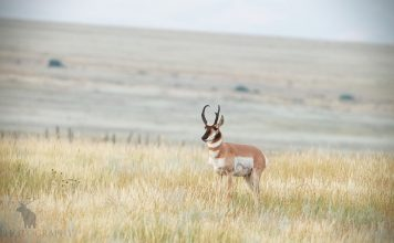 FACTS ABOUT PRONGHORN