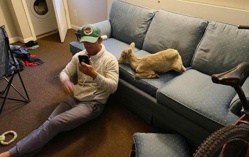 MAN TAKES BIGHORN SHEEP LAMB HOME
