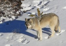 MONTANA RELEASES NEW WOLF PROPOSAL