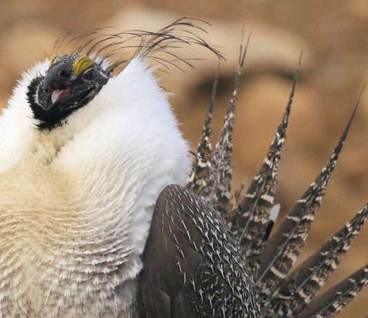SOME QUESTION WYOMING SAGE GROUSE HUNTING