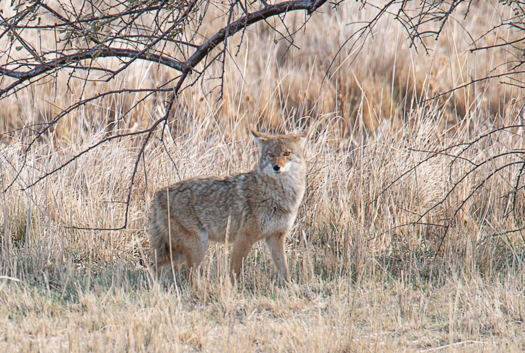 CLARK COUNTY CONSIDERS BANNING COYOTE CONTESTS