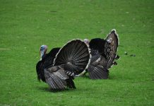 THE HISTORY OF TURKEY HUNTING IN WYOMING