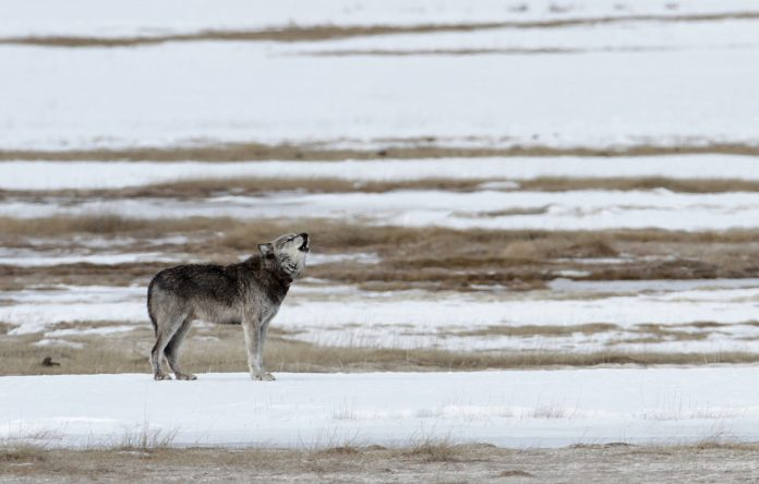 YELLOWSTONE WOLF POPULATION