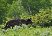 BREAKING NEWS: CPW CONFIRMS NEW WOLF PUPS BORN IN COLORADO