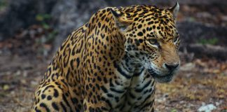 JAGUARS COULD BE REINTRODUCED TO US SOUTHWEST
