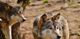 TWO MEXICAN GRAY WOLVES POACHED IN ARIZONA