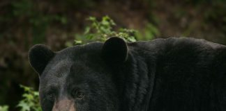 BEAR BIT WOMAN KILLED