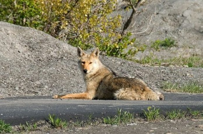 BOY MOTHER ATTACKED BY COYOTE