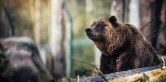WYOMING GRIZZLIES SHIPPED