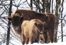 UNITED KINGDOM BISON REINTRODUCTION