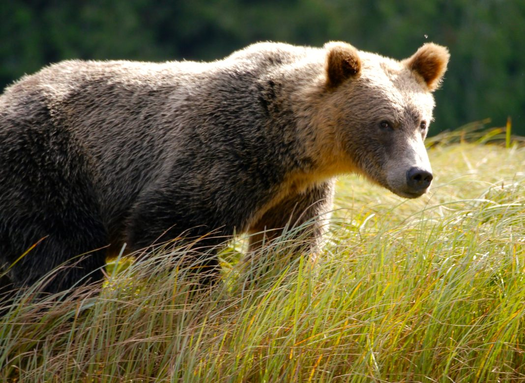 MONTANA GRIZZLY BEAR RELOCATED