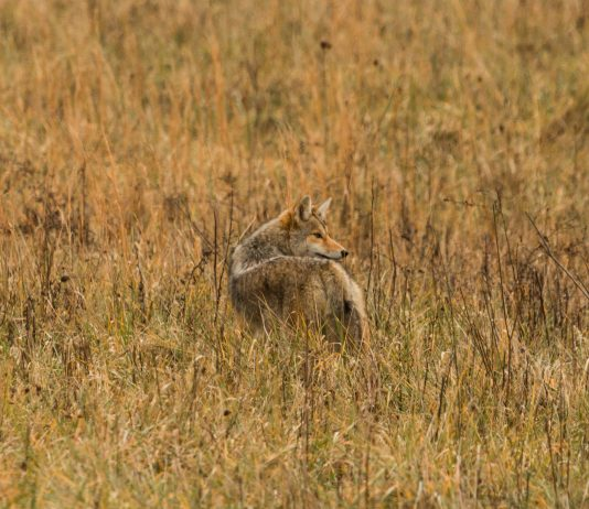 ETHICS OF COYOTE HUNTING CONTESTS BEING QUESTIONED