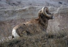 WYOMING'S EMERGENCY BIGHORN HUNT
