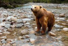 GRIZZLIES COMING TO GRAND CANYON