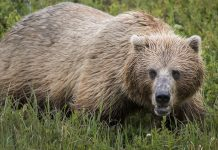 HUNTERS TO USE BEAR SPRAY INSTEAD OF KILLING GRIZZLY BEAR